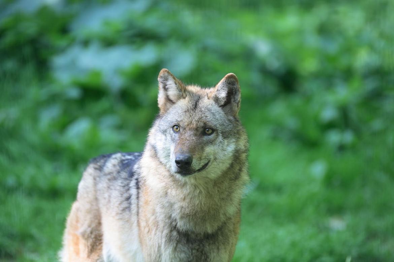 WolfSeite17_1.jpg
